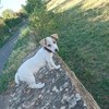 Oasis, chien Jack Russell Terrier