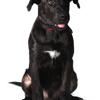 Ocio, chien Cão fila de São Miguel
