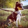Octet, chien Berger des Shetland