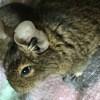 Photo de Pamplemousse, rongeur Octodon - 433789
