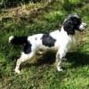 Offspring, chien Springer anglais