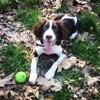 Olaf, chien Springer anglais