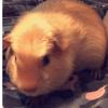 Olaf, rongeur Cochon d'Inde