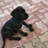 Olia, chien Cane Corso