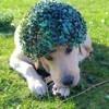 Olive, chien Labrador Retriever