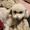 Olive, chien Caniche
