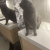 Ollie, chat Chartreux