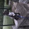 Olya, chien American Staffordshire Terrier