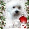 Onyx, chien Bichon maltais