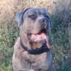 Onyx, chien Cane Corso