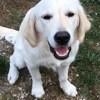 Opale, chien Golden Retriever