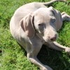 Opalyne, chien Braque de Weimar