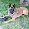 Opex, chien Berger belge