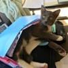 Ophélie, chat Bleu russe