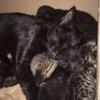 Opium, chat Sibérien