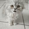 Orson, chat Persan