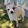 Oscar, chien Chihuahua
