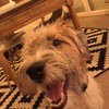 Oscar, chien Fox-Terrier