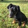 Oshun, chien Beauceron