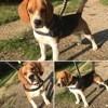Oslo, chien Beagle