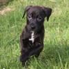 Ottawa, chien Labrador Retriever