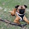 Ozy, chien Petit brabançon