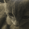 Ozzy, chat Chartreux