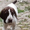 P'Tit Loup Des Anges Rêvés D'Acq, chien Braque français
