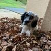 Pablo, chien Setter anglais