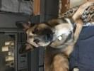 Pablo, chien Berger belge