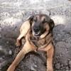 Paco, chien Berger belge
