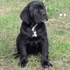Pako, chien Cane Corso
