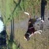 Pancho, chien Beagle