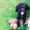 Pandora, chien Cane Corso
