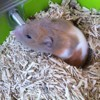 Pastelle, rongeur Hamster