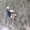 Patch, chien Beagle