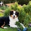 Paxty, chien Berger australien