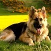 Paty, chien Berger allemand