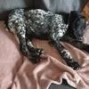 Paulo, chien Braque allemand à poil court