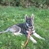 Pavlovna, chien Husky sibérien