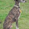 Pédro, chien Lévrier espagnol