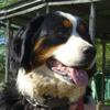 Peluche, chien Bouvier bernois