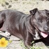 Perle, chien American Staffordshire Terrier