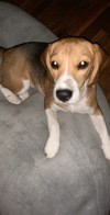 Perler, chien Beagle