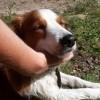 Photo de Lili, chien Petit chien hollandais de chasse au gibier d'eau - 402150