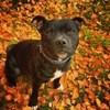 Phénix, chien Staffordshire Bull Terrier