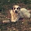 Phebus, chien Chien de montagne des Pyrénées