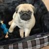 Piana, chien Carlin