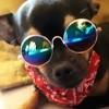 Pika, chien Chihuahua
