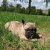 Michée, chien Bouledogue français